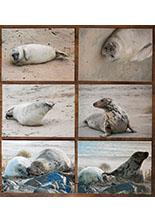 Zeehondenansichtkaarten
